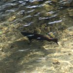 Salmon in the creek